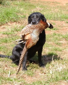 Black Lab with Pheasant