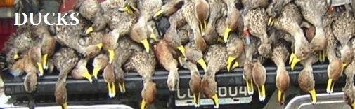 Duck banner #2