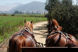 Horses in Argentine Vinyard