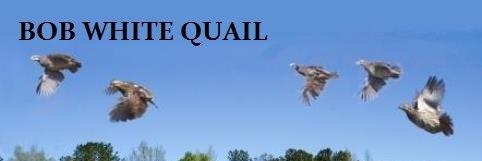 Quail banner #2