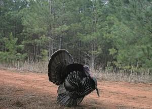 Turkey Gobler Strut LRes